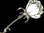 rosa-300x223-1