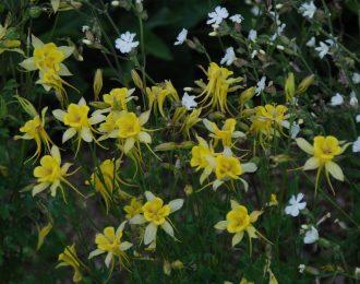 Aquilegia chrysantha – Yellow Queen