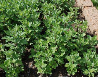 Chrysanthemum (x hortensis Dendranthema zawadsii)- Poesie
