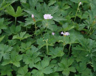 Geranium endressii  – Trevor Bath