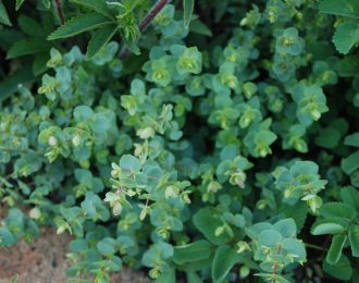 Origanum Rotundifolium – Kent Beauty