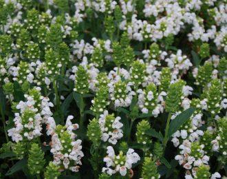 Prunella Grandiflora – Alba