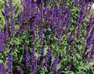 Salvia  nemorosa – A little bit