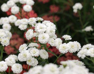 Achillea ptarmica – Perry's White