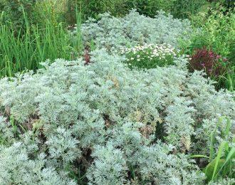 Artemisia arborescens – Powis Castle