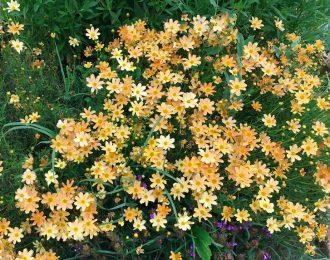 Coreopsis verticillata – Creme Brulé