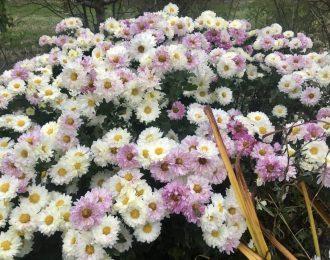 Chrysanthemum x hortensis – Poesie / Dendranthema zawadsii – Poesie
